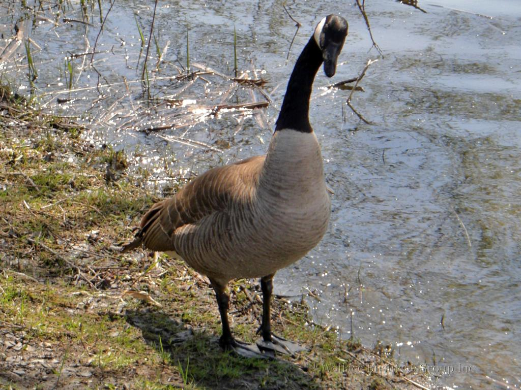 An inquisitive goose