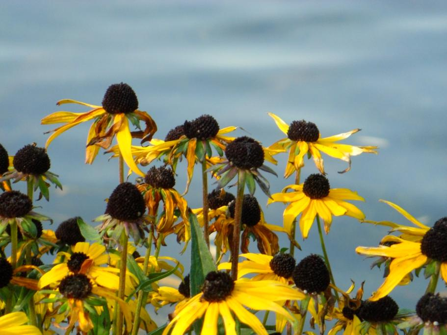 Daisies or Black-eyed Susans