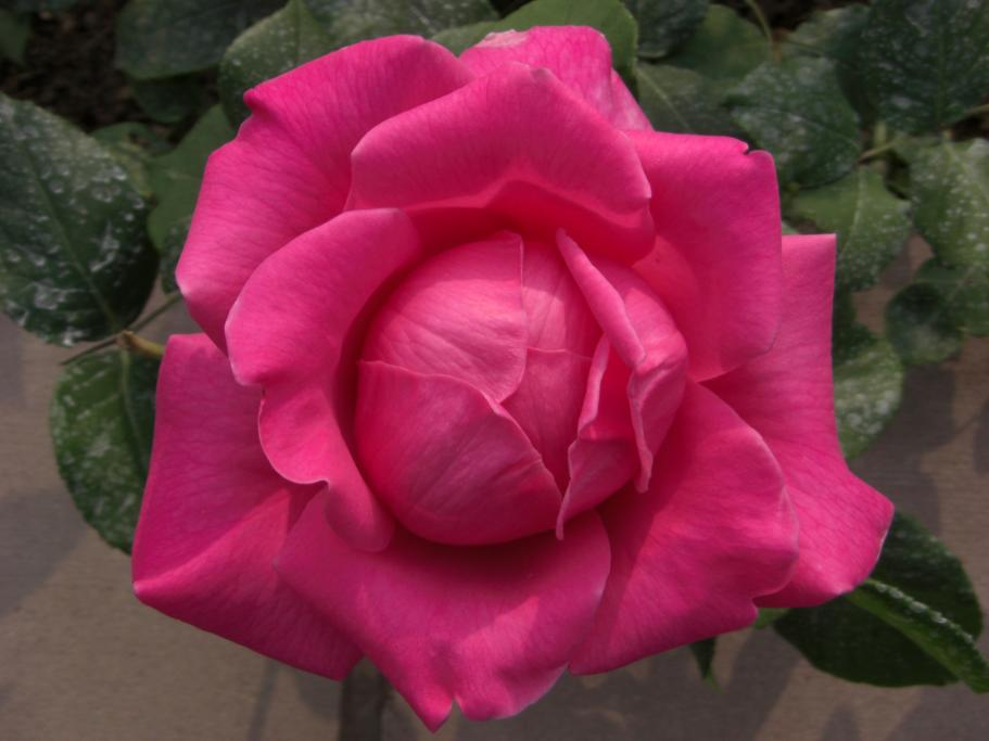 Red Rose - Only in Canada, you say? Pity!