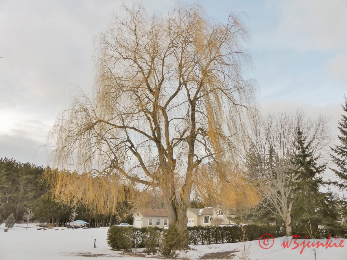 I love this willow tree