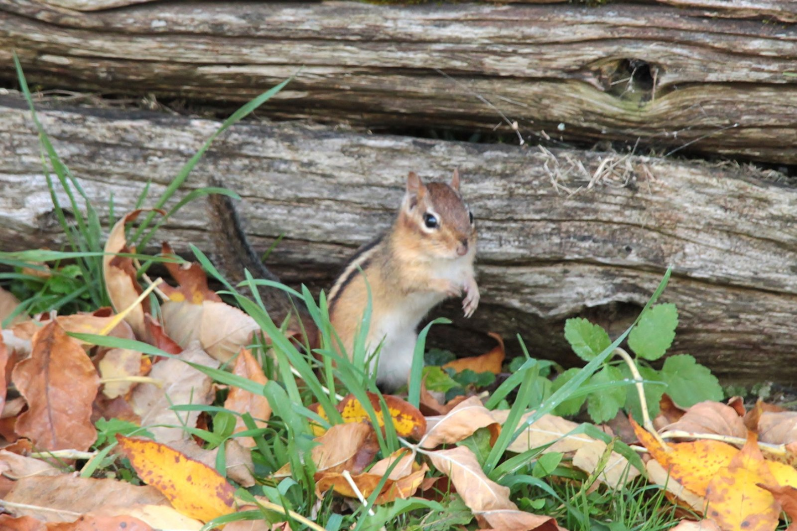Even the chipmunk seemed to be enjoying the fall weather!