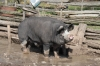 This pig looks like he could single-handedly solve the upcoming bacon shortage....